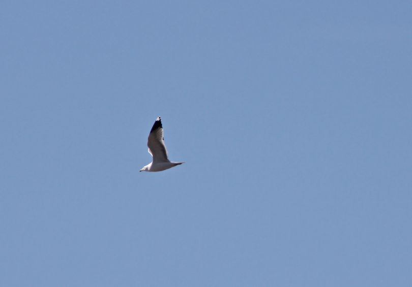 The mighty gull takes to the air.